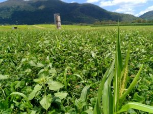 Prior's cover crop Feb 2017