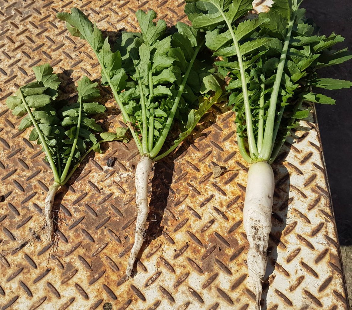 three tillage radishes at Colin Seis'