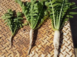 Three little tillage radishes all in a row – Simon Mattsson's trip to NSW May 2017